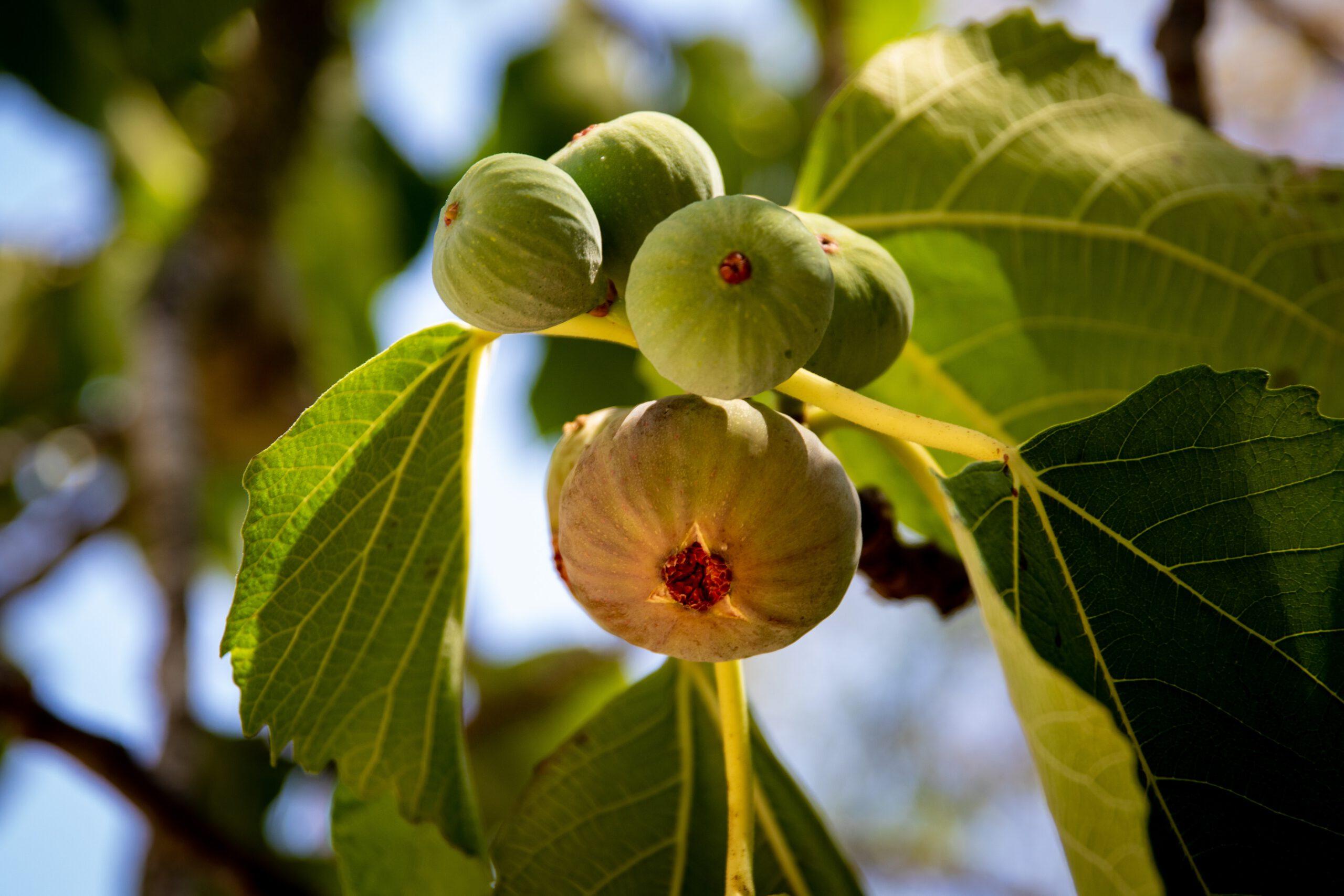 Der Feigenbaum, Sure 95